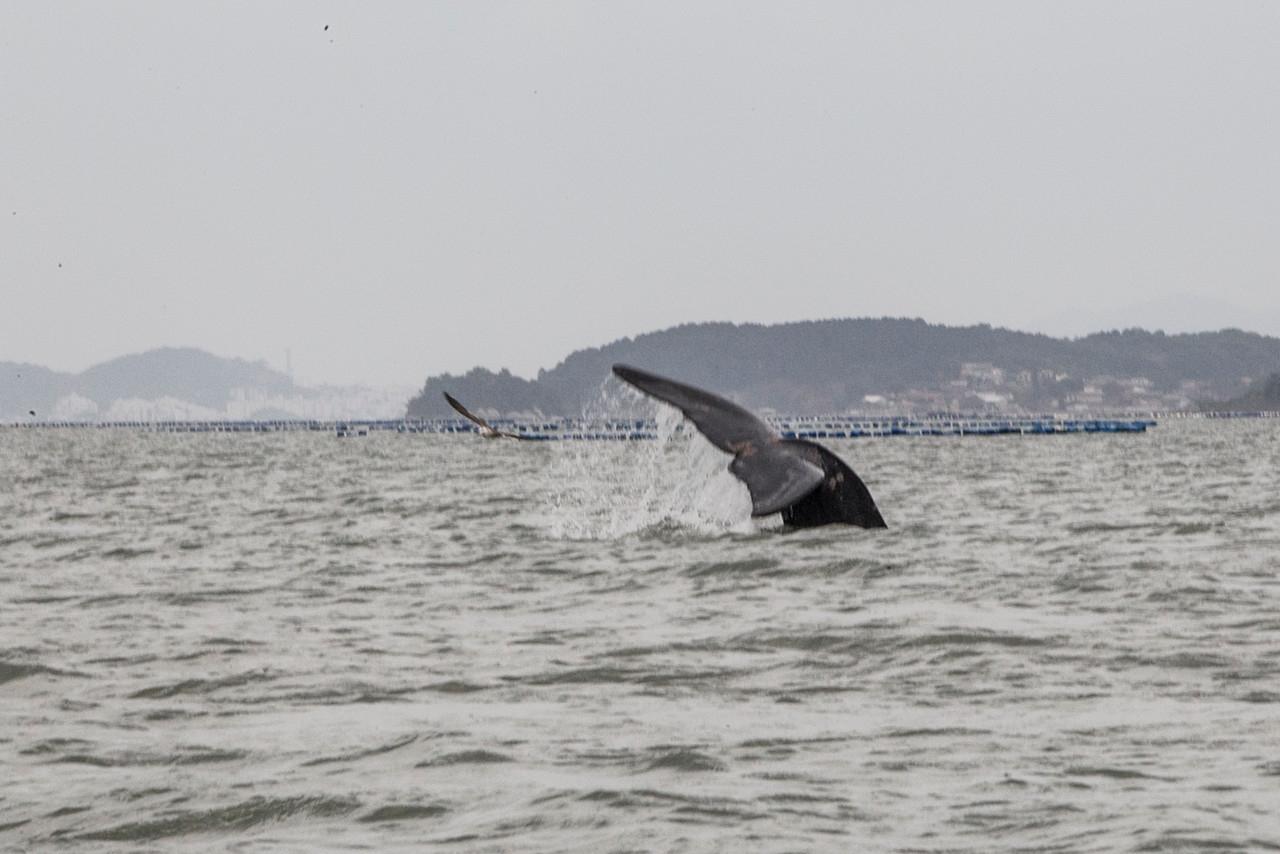 Baleias em Florianópolis - Marco Santiago/ND