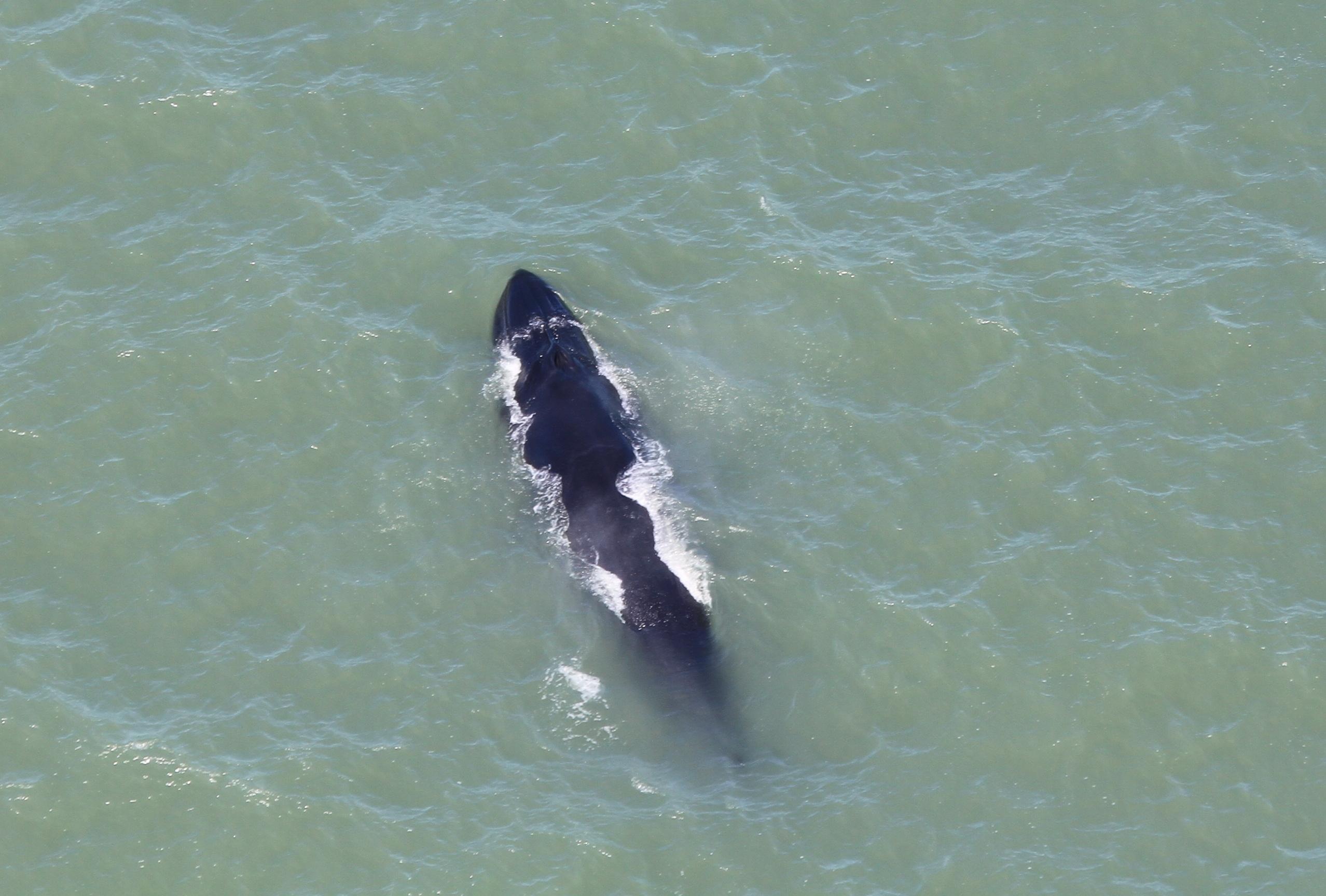 Baleia de bryde foi avistada durante o último sobrevoo - Paulo Flores/Divulgação/ND