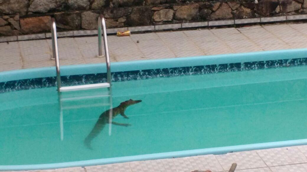 Jacaré foi encontrado dentro de uma piscina no Morro da Lagoa - Alceu Atherino Nunes/Divulgação/ND