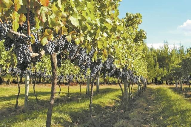 A Villaggio Grando ajuda a tornar o Estado referência nos vinhos de altitude - Divulgação/ND