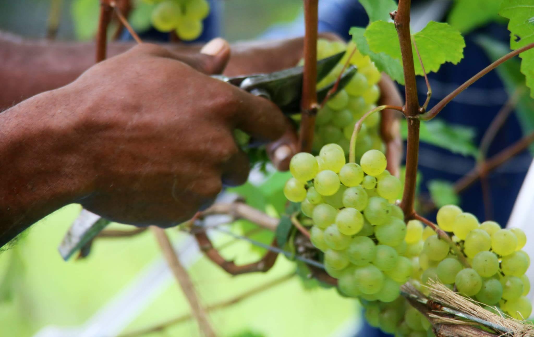 Colheita da uva - Abner Zeus/Divulgação/ND