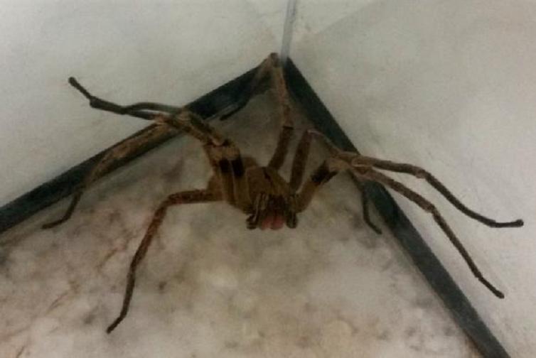 Aranhas estão no topo da lista dos animais peçonhentos que mais provocam acidentes