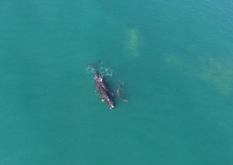 Baleia e filhote foram vistos na Praia do Rosa, em Imbituba, nesta sexta-feira - Rodrigo Litman/Divulgação/ND