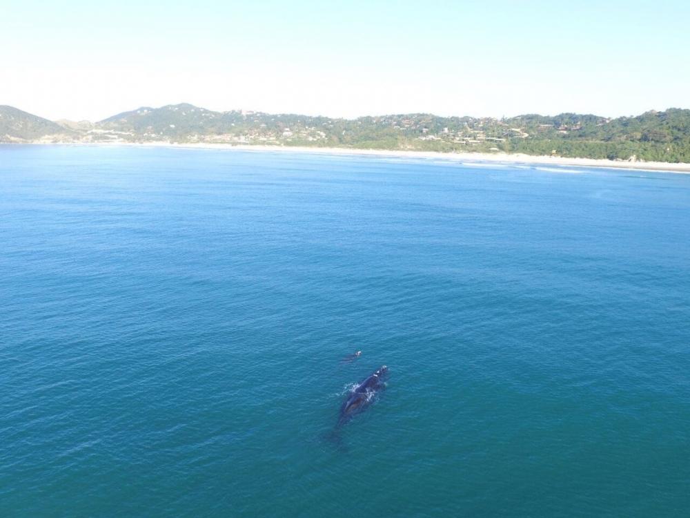 Baleias costumam percorrer cerca de 3.000 km da Antártida até Santa Catarina em busca de águas mais quentes para a reprodução - Rodrigo Litman/Divulgação/ND