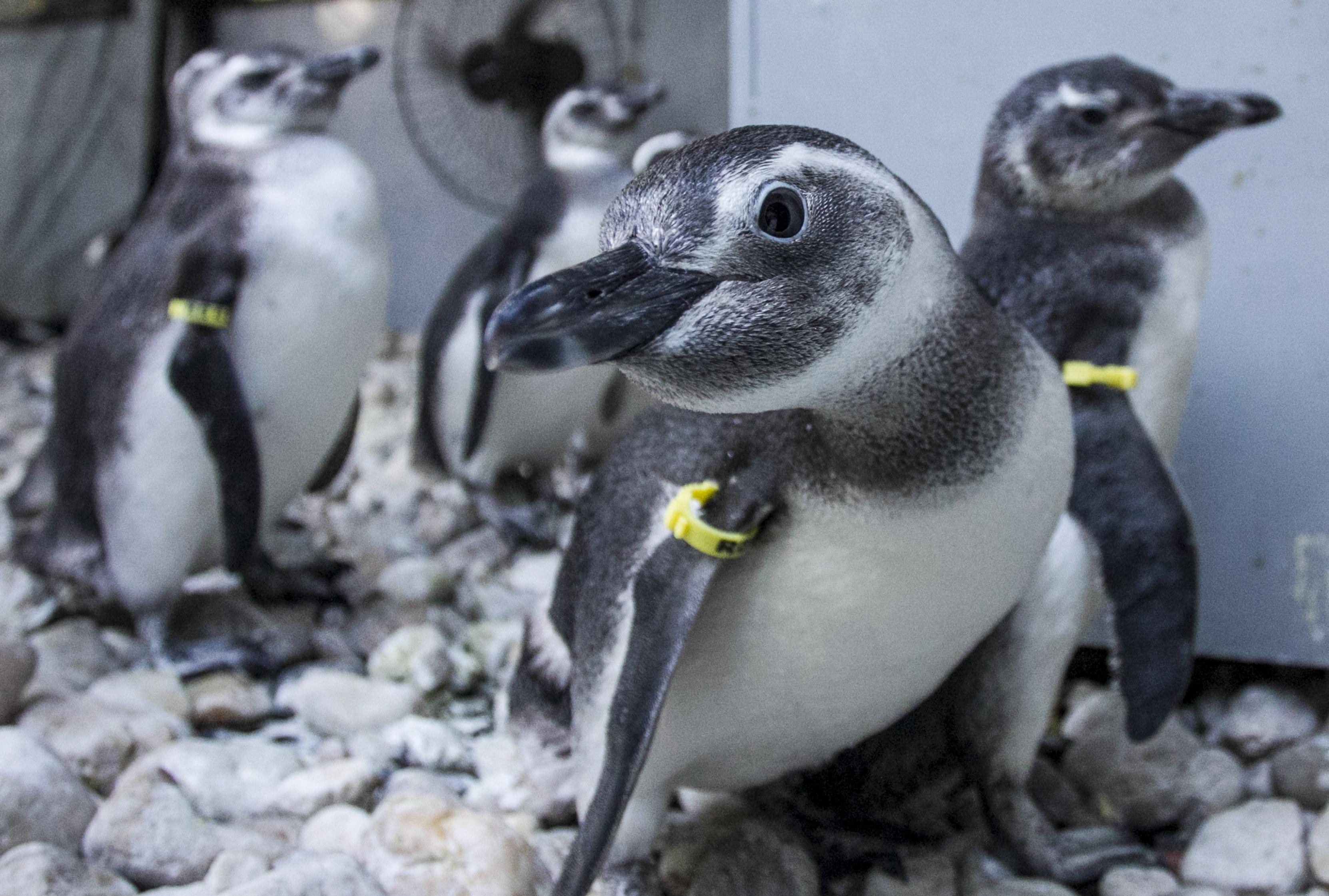 Os pinguins que deverão ser soltos dentro de 15 dias recebem um chip de identificação, contendo suas informações - Marco Santiago/ND