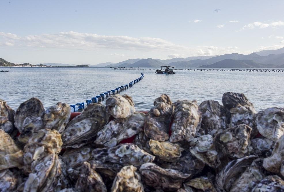 Em edições anteriores, mais de 30 mil dúzias de ostras foram comercializadas - Marco Santiago/ND