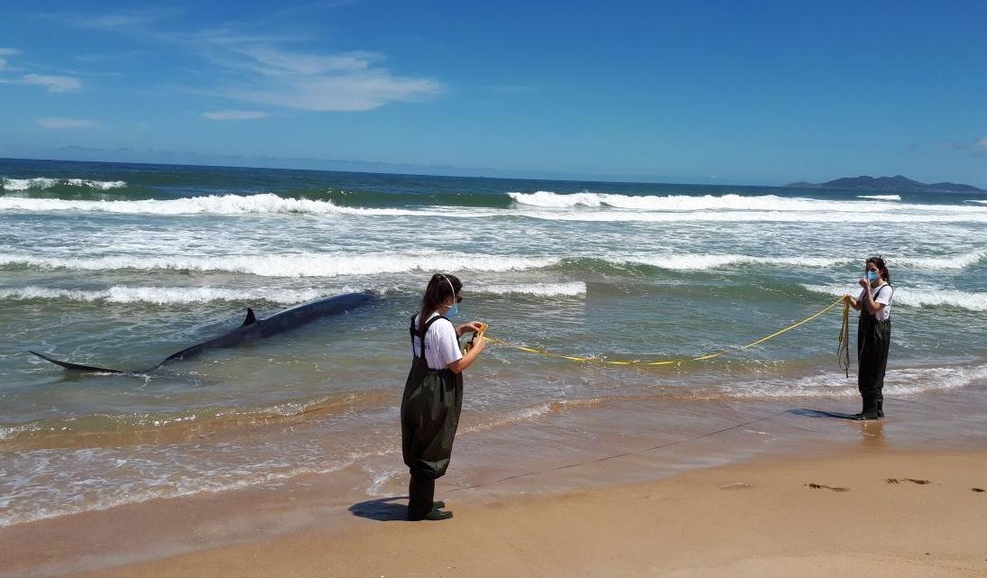 Uma Baleia-de-Bryde encalhou viva na Praia de Baixo, em Paulo Lopes - Nilson Coelho/ Divulgação/ ND