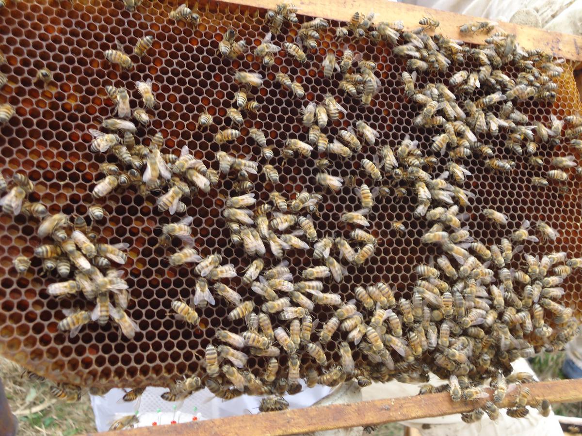 Pelo quinto ano, Santa Catarina tem o melhor mel do mundo - FAASC/Divulgação/ND