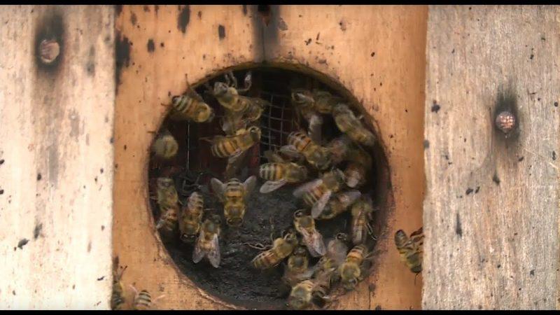 Abelhas também são animais peçonhentos