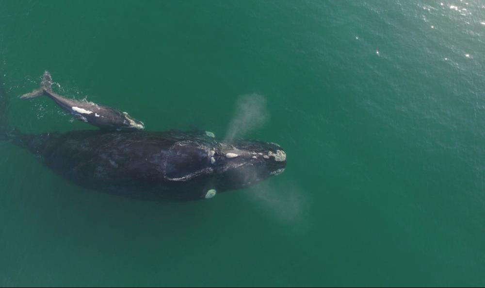 Baleia franca com filhote é avistada na praia da Gamboa, no litoral Sul de SC - Instituto Australis/Divulgação/ND