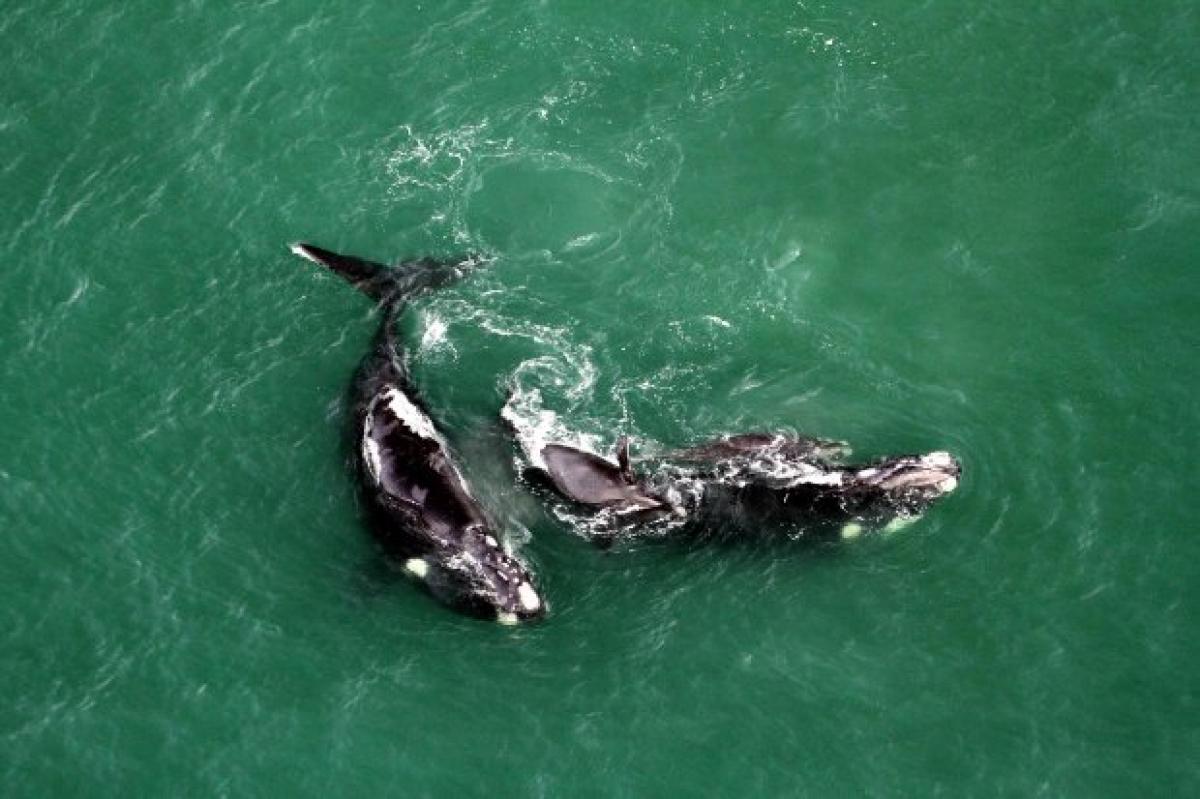 As baleias-franca têm sido avistadas no Litoral catarinense desde o dia 7 de junho - SCPar Porto de Imbituba/Divulgação/ND