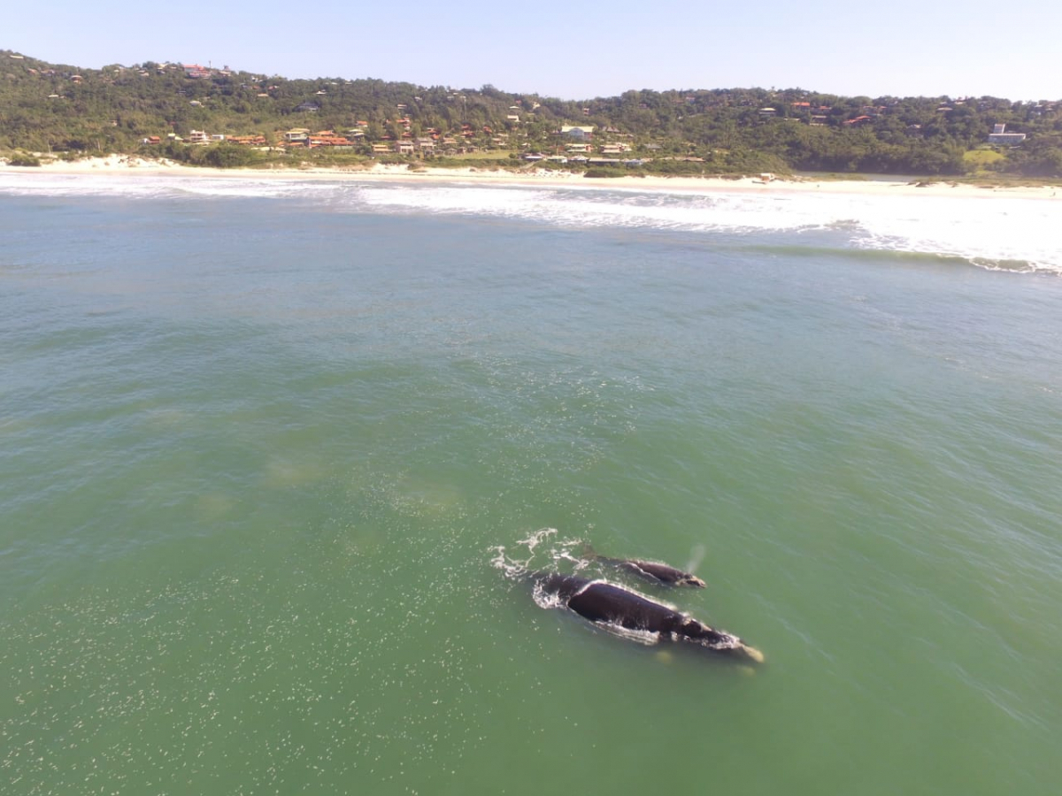 Além do balneário da praia do Rosa, as baleias também estão ocupando outros no Litoral Sul - Projeto Baleia Franca-Instituto Australis/Divulgação/ND