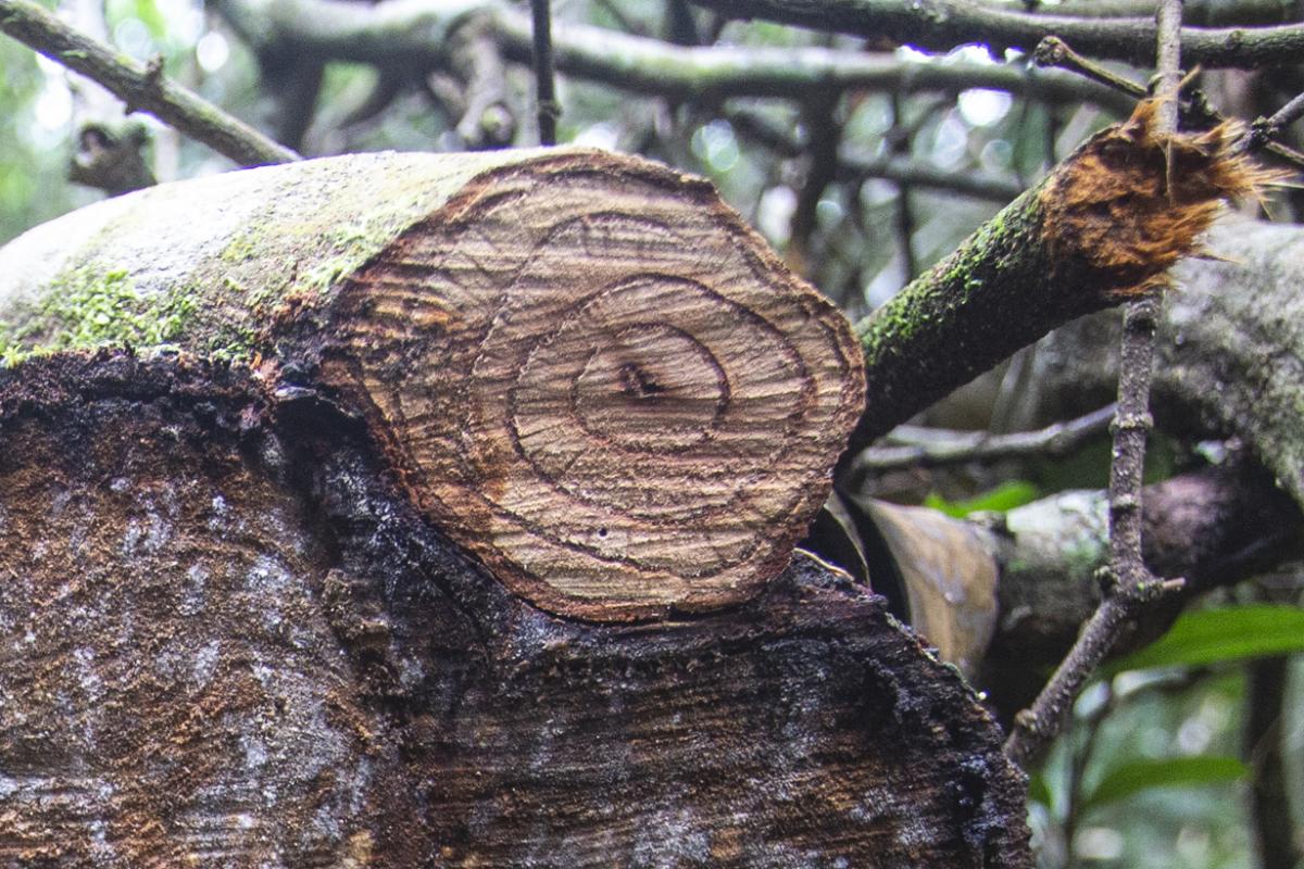 O método científico que determina a idade de uma árvore com base nos anéis do tronco é chamado de dendrocronologia - Daniel Queiroz/ND
