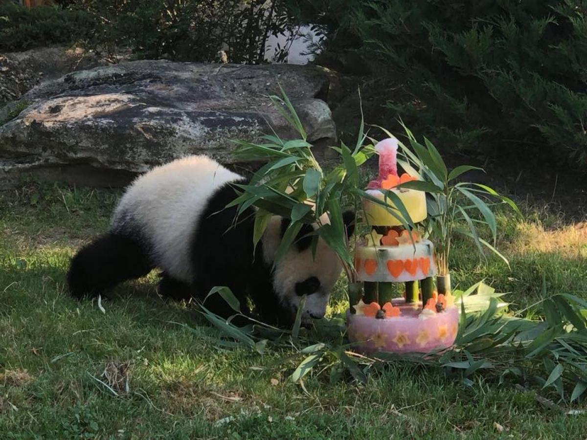 Yuan Meng é o primeiro bebê panda nascido na Franã - Zoo de Beauval/Divulgação/ND