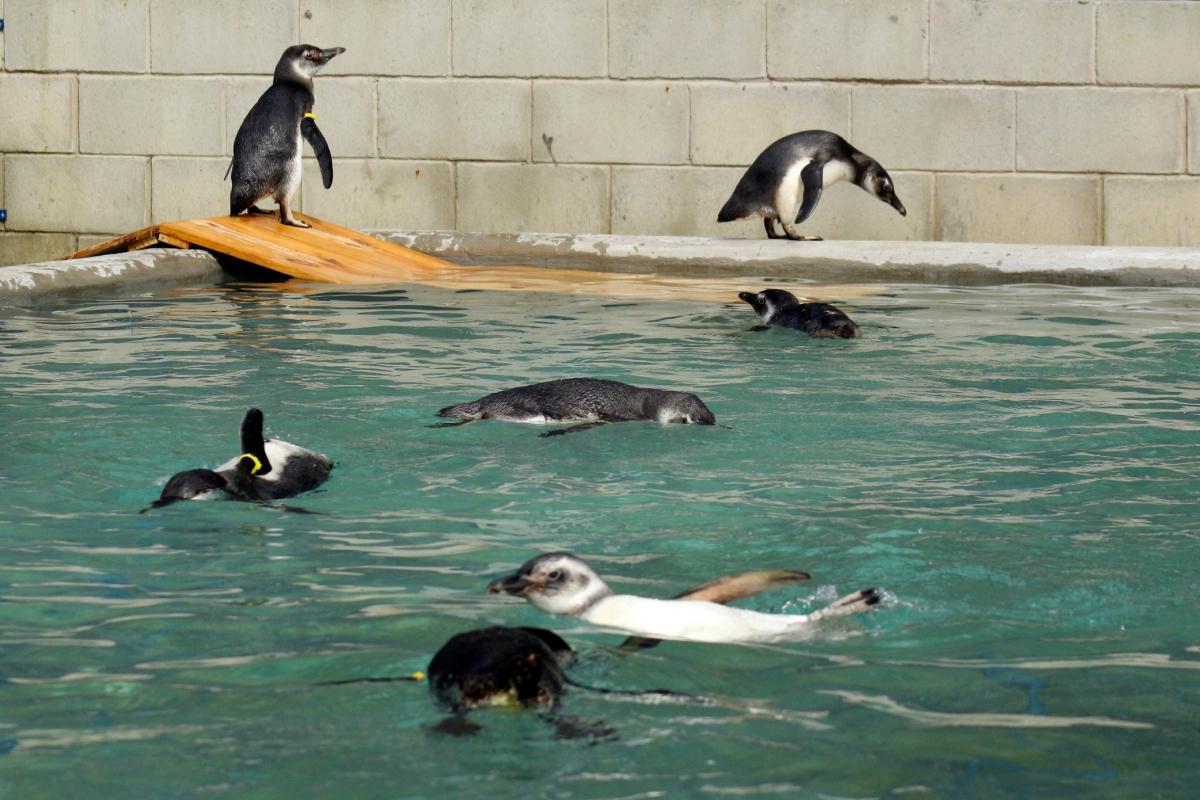 Pinguins em reabilitação na associação R3 Animal - Nilson Coelho/Divulgação/ND