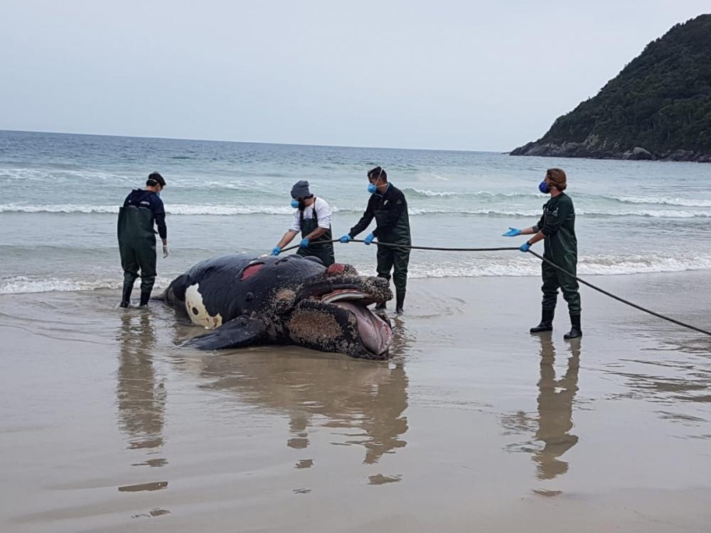Filhote de baleia franca apareceu morto na Praia do Matadeiro - Foto: R3 Animal/Divulgação/ND