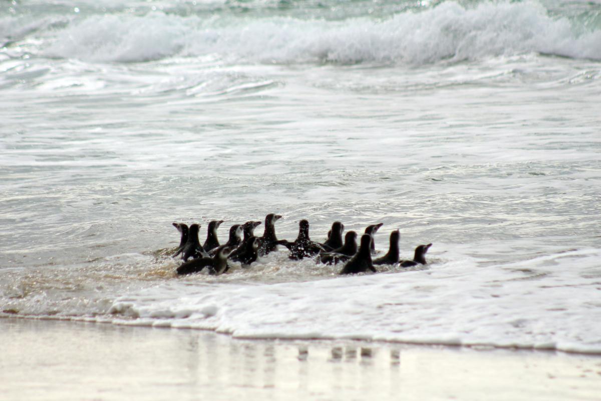 Pinguins reabilitados retornam ao mar, na Praia do Moçambique - Associação R3 Animal / Projeto de Monitoramento de Praias da Bacia de Santos (PMP-BS)