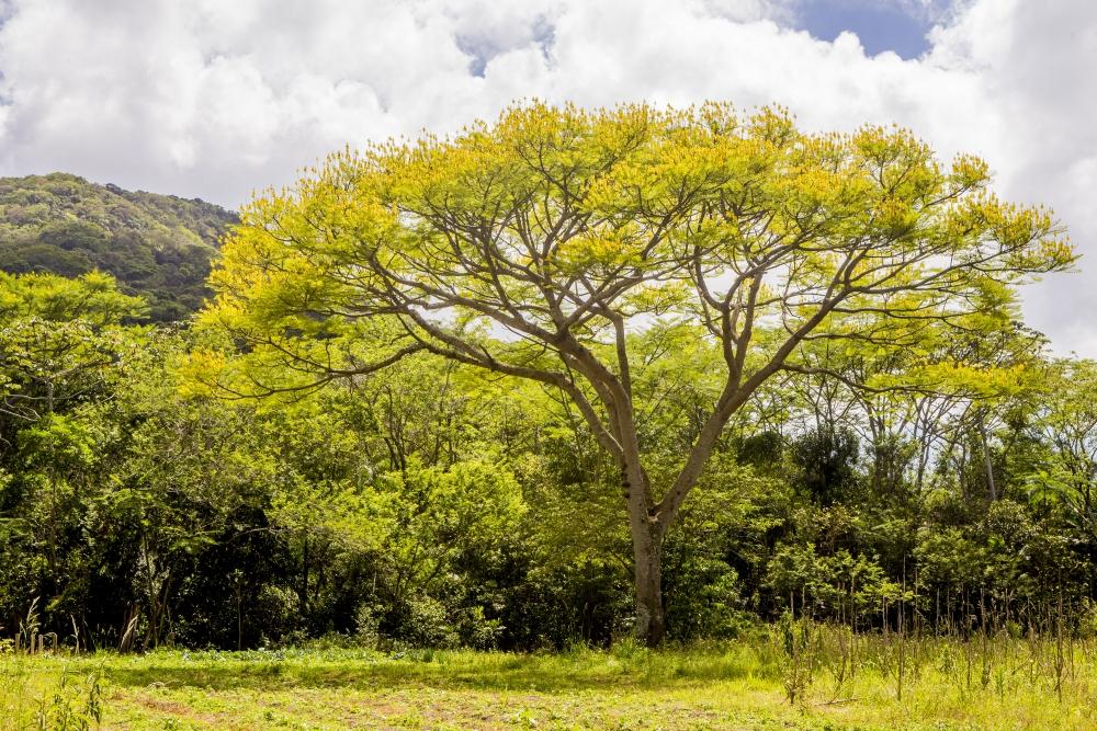 Garapuvu é símbolo de Florianópolis exibe seu lado mais belo - Flávio Tin/ND