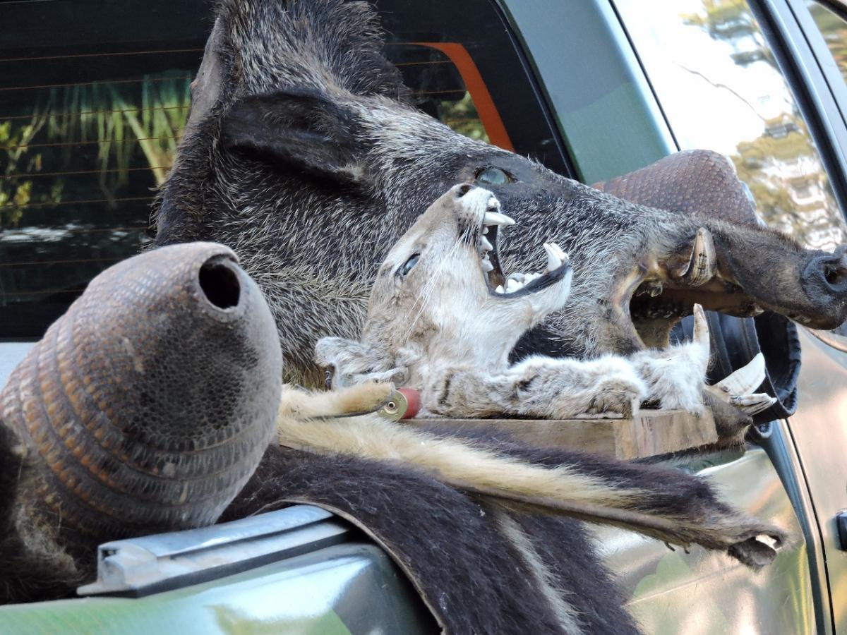 Cabeças de animais silvestres foram encontradas no local - PMSC/Divulgação