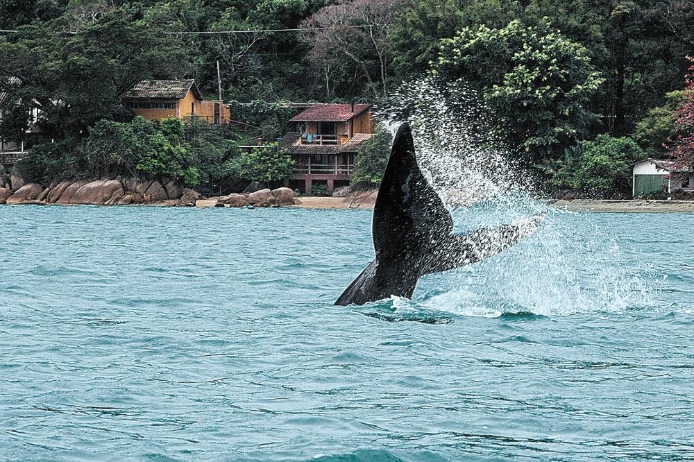 As francas procuram as águas mais quentes do litoral catarinense - Marco Santiago/ND
