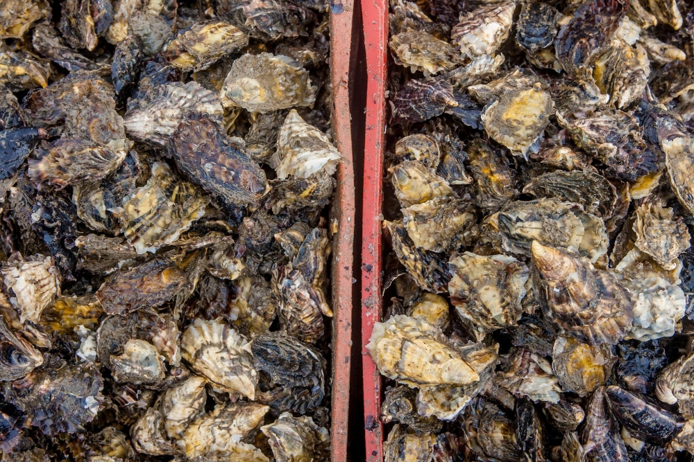 Florianópolis é a capital nacional da maricultura e são poucos os produtores que possuem o selo de qualidade - Flávio Tin/ND