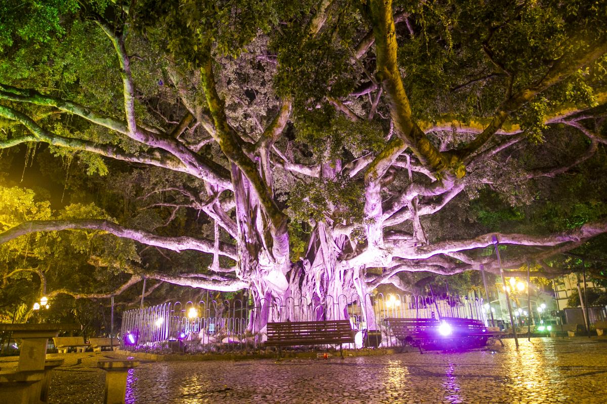 Figueira da Praça XV iluminada para o Outubro Rosa - Marco Santiago/ND