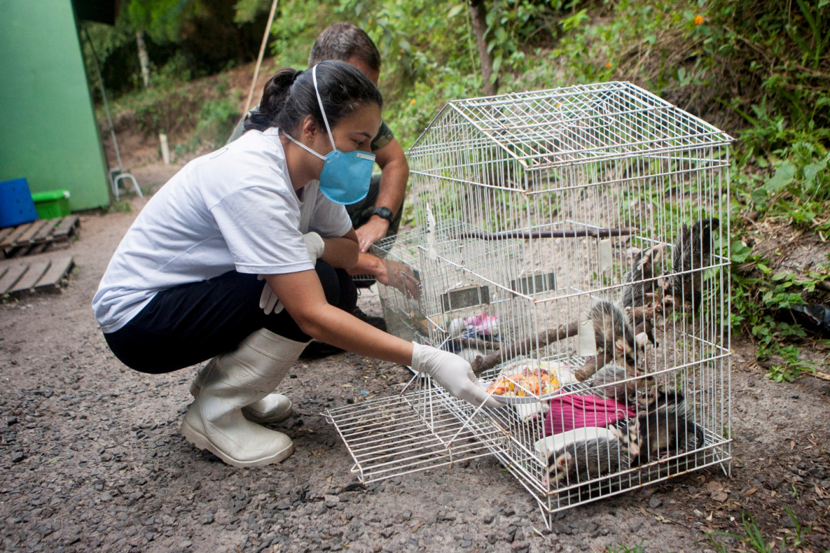 Gambás capturados ficam no Parque Estadual do Rio Vermelho, no Norte da Ilha - Flávio Tin/ND