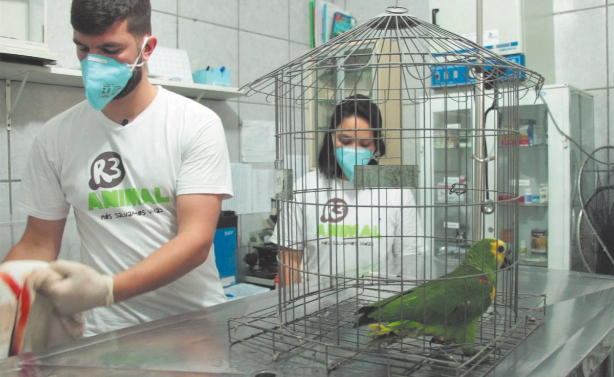 Papagaio Verdadeiro apreendido com pneumonia - Divulgação/ND