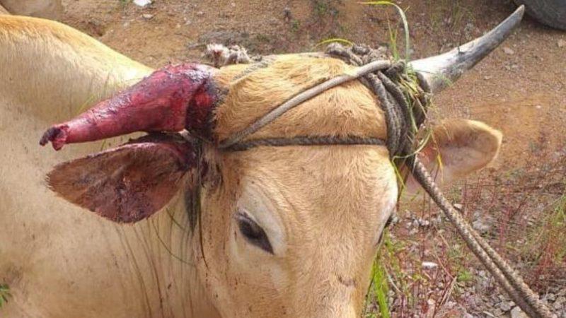 Animal apreendido durante farra realizada Governador Celso Ramos – Foto: Arquivo/Divulgação/FBNM/ND