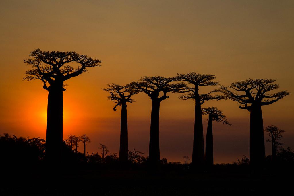 Avenida dos Baobás, Madagascar - uglyold on Visualhunt.com / CC BY-NC-SA - uglyold on Visualhunt.com / CC BY-NC-SA/Rota de Férias/ND