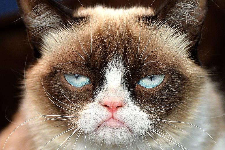 Grumpy Cat – Gatos fofinhos fazem sucesso na internet. Fato. Mas a Tardar Sauce, ou simplesmente Tard, ficou mundialmente conhecida por um motivo diferente. Sua eterna expressão mal-humorada. Apelidada de Grumpy Cat (em tradução livre, Gata Rabugenta), sua primeira aparição ocorreu em 2012 e, desde então, ela não abandonou a internet. Hoje, a gatinha tem site próprio, página no Facebook, canal no YouTube, Twitter e uma loja online para seus produtos. - Crédito: Reprodução Internet/33Giga/ND
