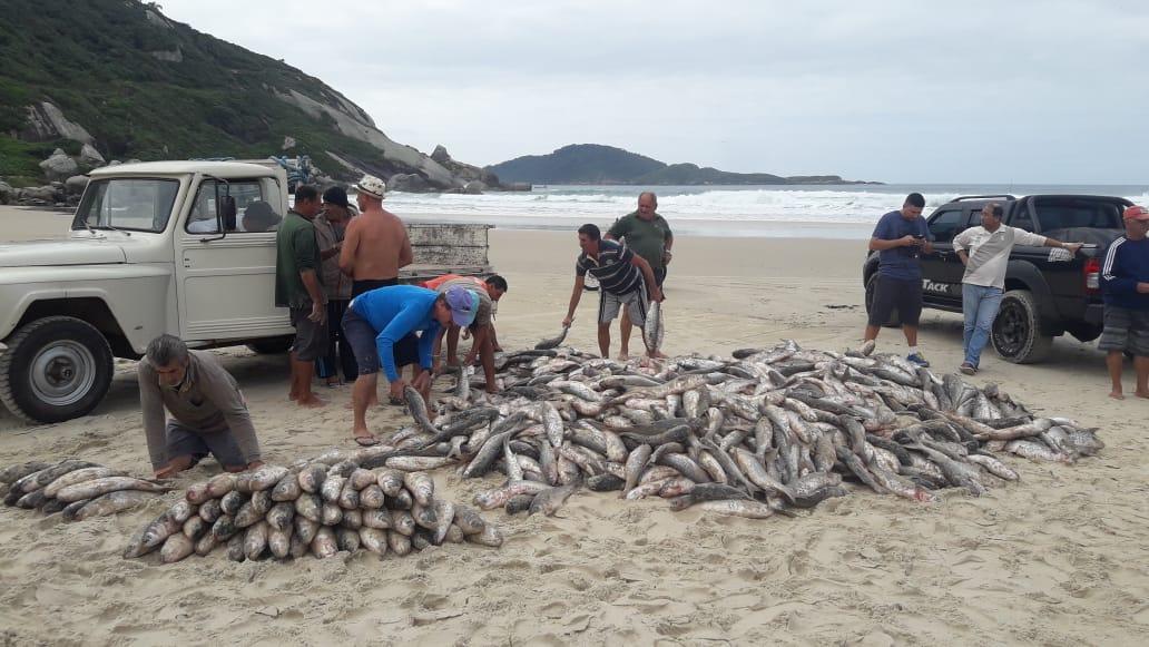 Cerca de 3200 tainhas capturadas na praia do Moçambique, em Florianópolis - Divulgação