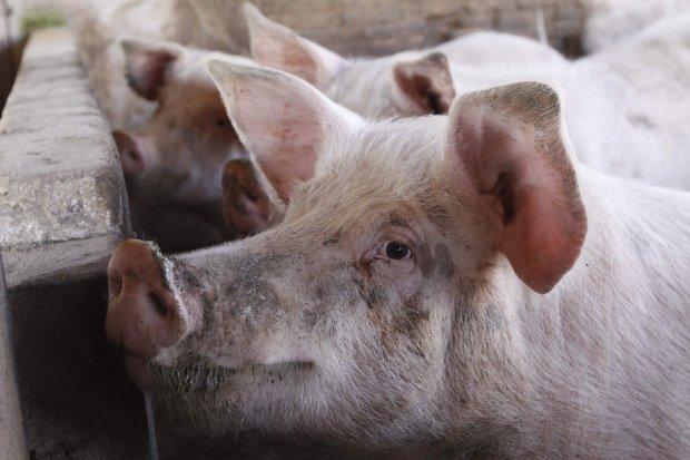 Usp e Santa Casa pesquisam métodos para reduzir a fila de espera de transplantes. Uma das alternativas é usar células de porcos – Antônio Carlos Mafalda/Arquivo/Secom