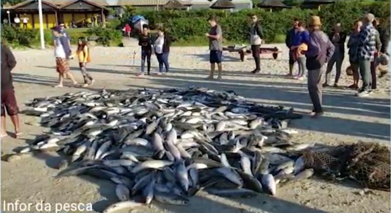 Cerca de 1300 tainhas capturadas por pescadores artesanais na praia do Santinho - RICTV/Reprodução