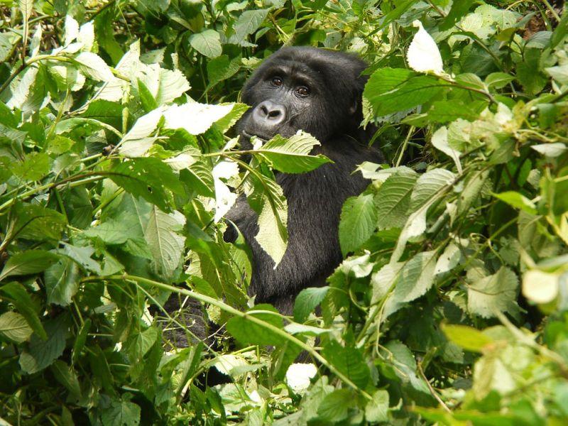 Quase na fronteira com o Congo, o Parque Nacional Impenetrável Bwindi, em Uganda, e é lar de uma enorme população de gorilas da montanha - Martijn.Munneke via VisualHunt.com / CC BY - Martijn.Munneke via VisualHunt.com / CC BY/Rota de Férias/ND