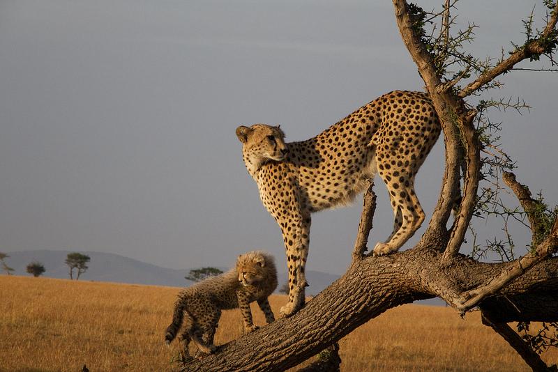 O Parque Nacional do Serengeti, na Tanzânia, oferece um dos safáris mais bonitos e famosos da África. As savanas do local inspiraram o cenário do clássico