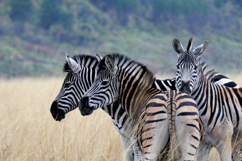 Zebras, rinocerontes e leões são alguns dos animais selvagens que podem ser observados pelos visitantes do Santuário de Vida Selvagem Mlilwane, em Suazilândia - Danforth1 via Visual Hunt / CC BY-NC-ND - Danforth1 via Visual Hunt / CC BY-NC-ND/Rota de Férias/ND
