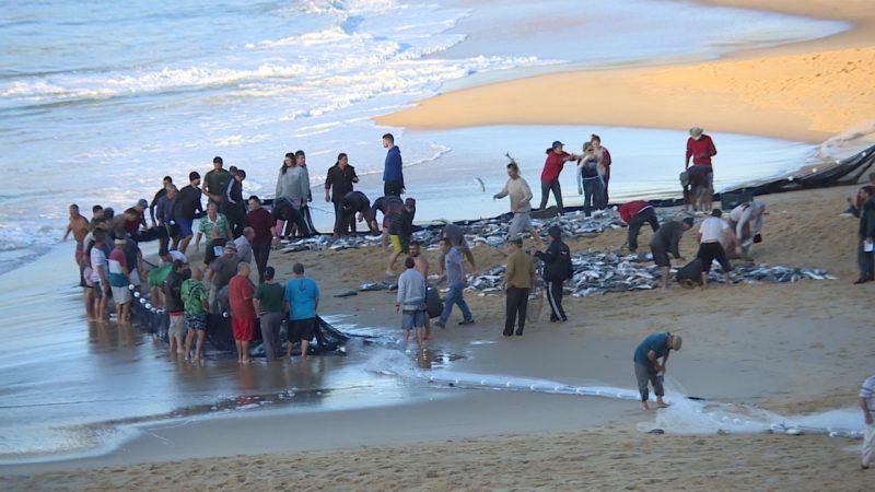 Manhã desta terça-feira foi de festa para os pescadores com a captura de 7 toneladas de tainha no Estaleirinho – Elias Gotaski/RICTV