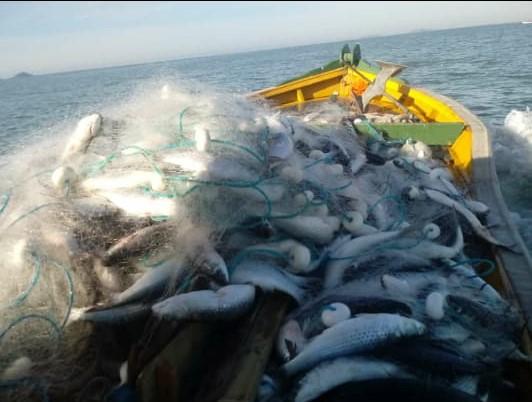 Peixes foram capturados em Balneário Barra do Sul – Foto: Junior Nauperto