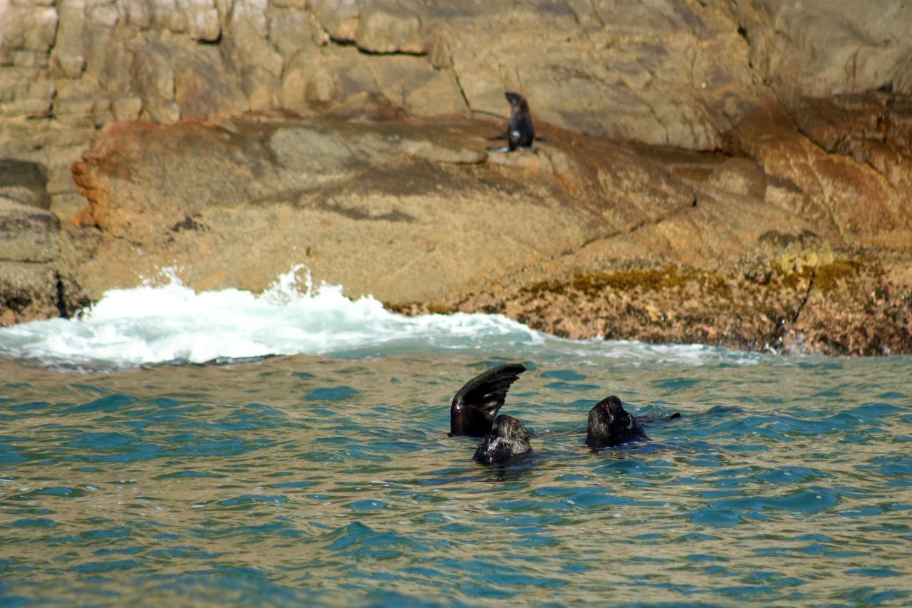 Cinco leões-marinho e um lobo-marinho foram avistados na Praia do Matadeiro na manhã dessa quinta-feira (11) - Nilson Coelho/R3Animal