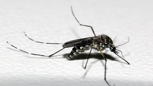 Dengue é transmitida pelo mosquito Aedes Aegypti – Foto: Reprodução/Fiocruz