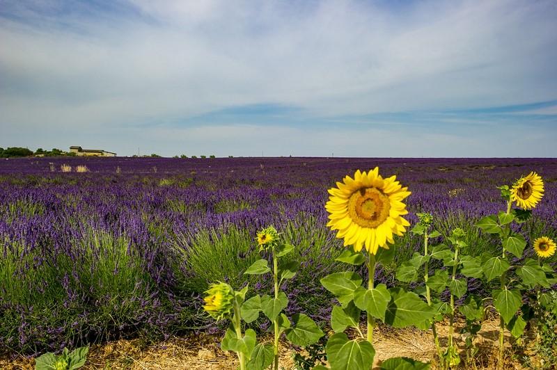 Alugar um carro e desbravar algumas das estradas e vilas mais lindas da França é tarefa fácil para quem vai a Provence. A região ostenta cenários floridos, como os clássicos campos de lavanda. Por lá, também é possível visitar a fábrica da marca de cosméticos L'Occitane, que fica em Manosque - Pixabay - Pixabay/Rota de Férias/ND