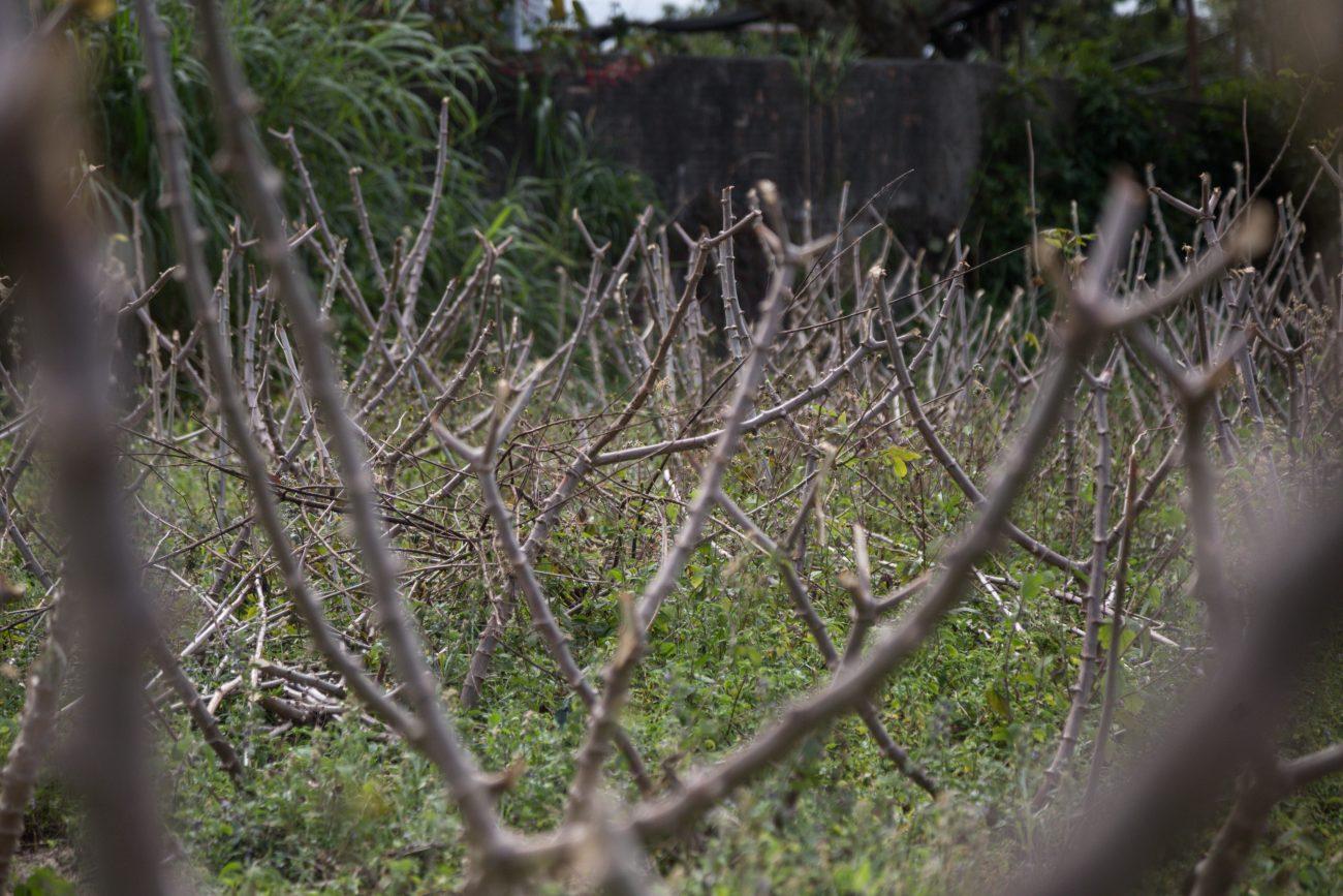 Roças de mandioca e aipim levam dois anos até o ponto da colheita - Anderson Coelho/ND