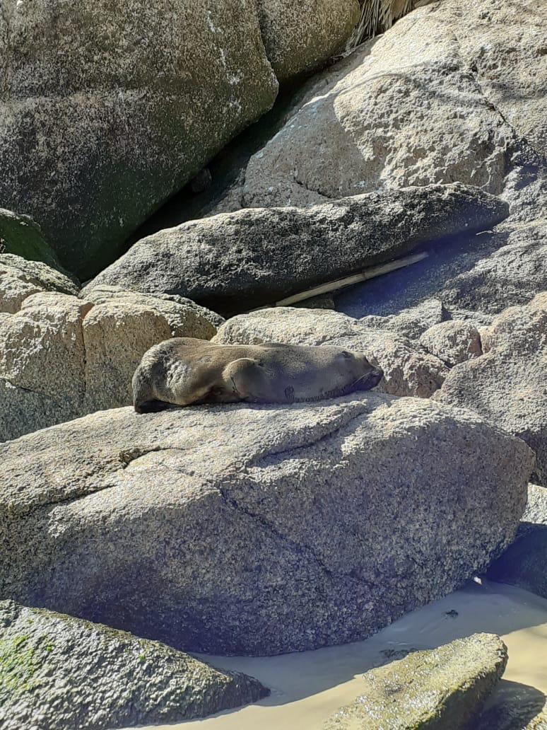 O animal foi avaliado por uma equipe técnica, a qual constatou que o mamífero marinho está com uma condição corpórea boa, ativo e responsivo, buscou o costão apenas para descansar - Projeto de Monitoramento de Praias da Bacia de Santos