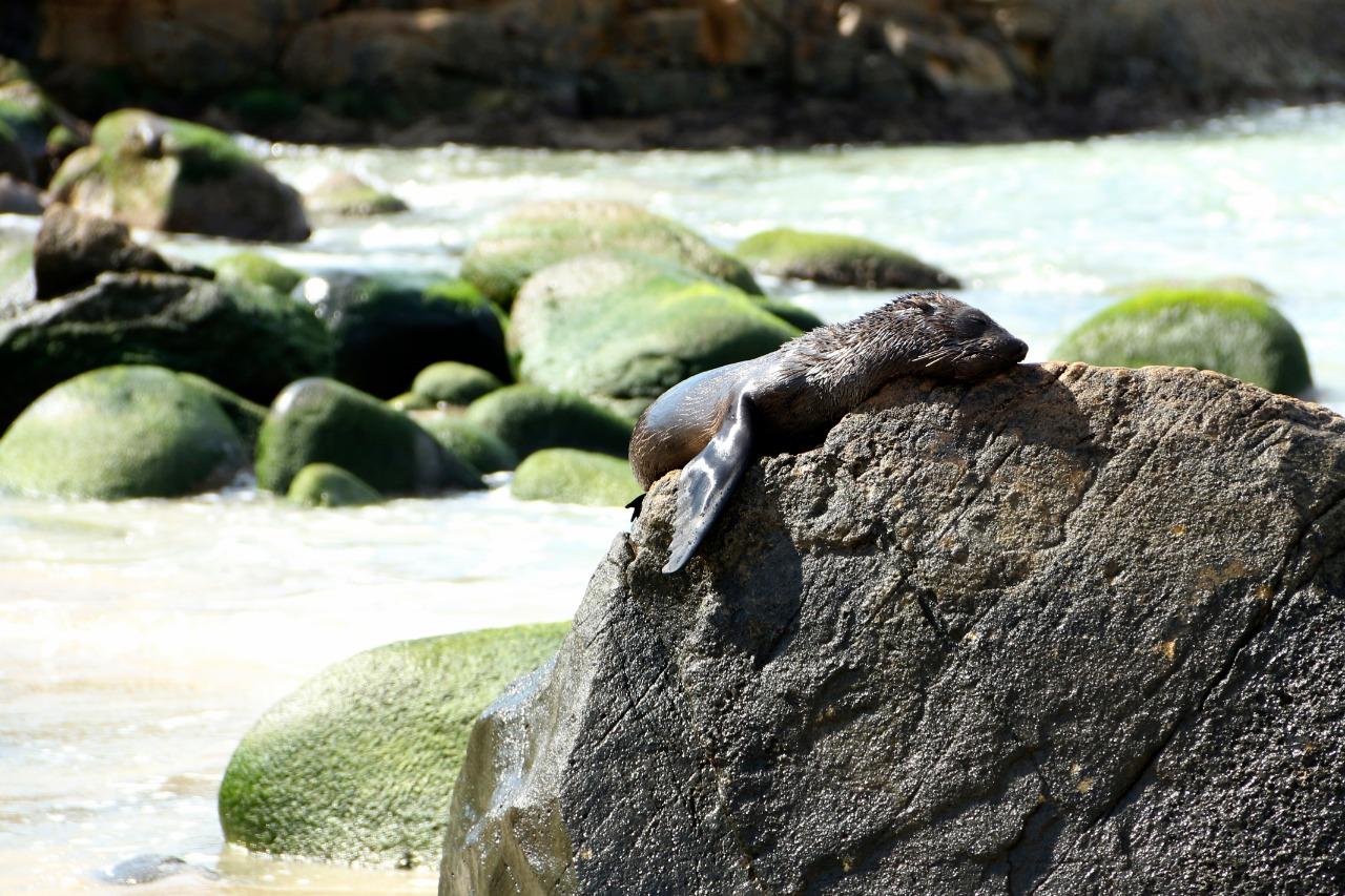 Lobo-marinho-do-sul foi avistado na praia do Santinho - R3 Animal/Divulgação