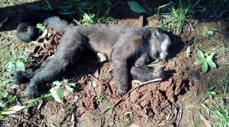 Mais de 60 macacos morreram com suspeita de febre amarela– Foto: Prefeitura de Planalto Alegre/Divulgação/ND