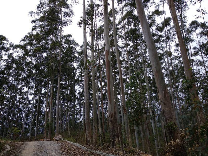 Eucaliptos também devem ser eliminados do parque futuramente – Marcela Ximenes/ND