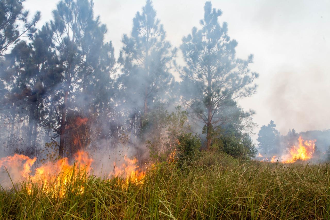Os pinus estão por quase todo o parque e ajudam a propagar incêndios - Flávio Tin/ND