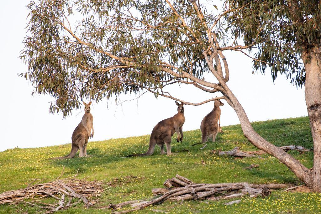 Ilha Kangaroo, Austrália - Pixabay - Pixabay /Rota de Férias/ND
