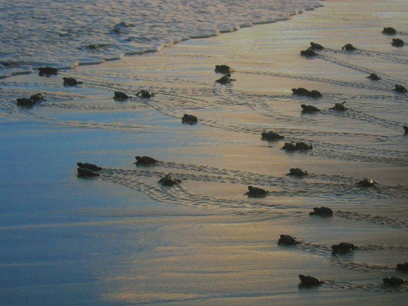 Além de ser bem bonita, a Praia do Forte, na Bahia, é palco de um lindo espetáculo da natureza. É lá que fica o Projeto Tamar, que busca proteger diferentes espécies de tartarugas marinhas. Durante determinadas épocas do ano, é possível acompanhar o nascimento dos filhotes, que já saem dos ovos correndo em direção ao mar - Ronaldo Lima, Jr. via Visualhunt.com / CC BY-NC-ND - Ronaldo Lima, Jr. via Visualhunt.com / CC BY-NC-ND/Rota de Férias/ND